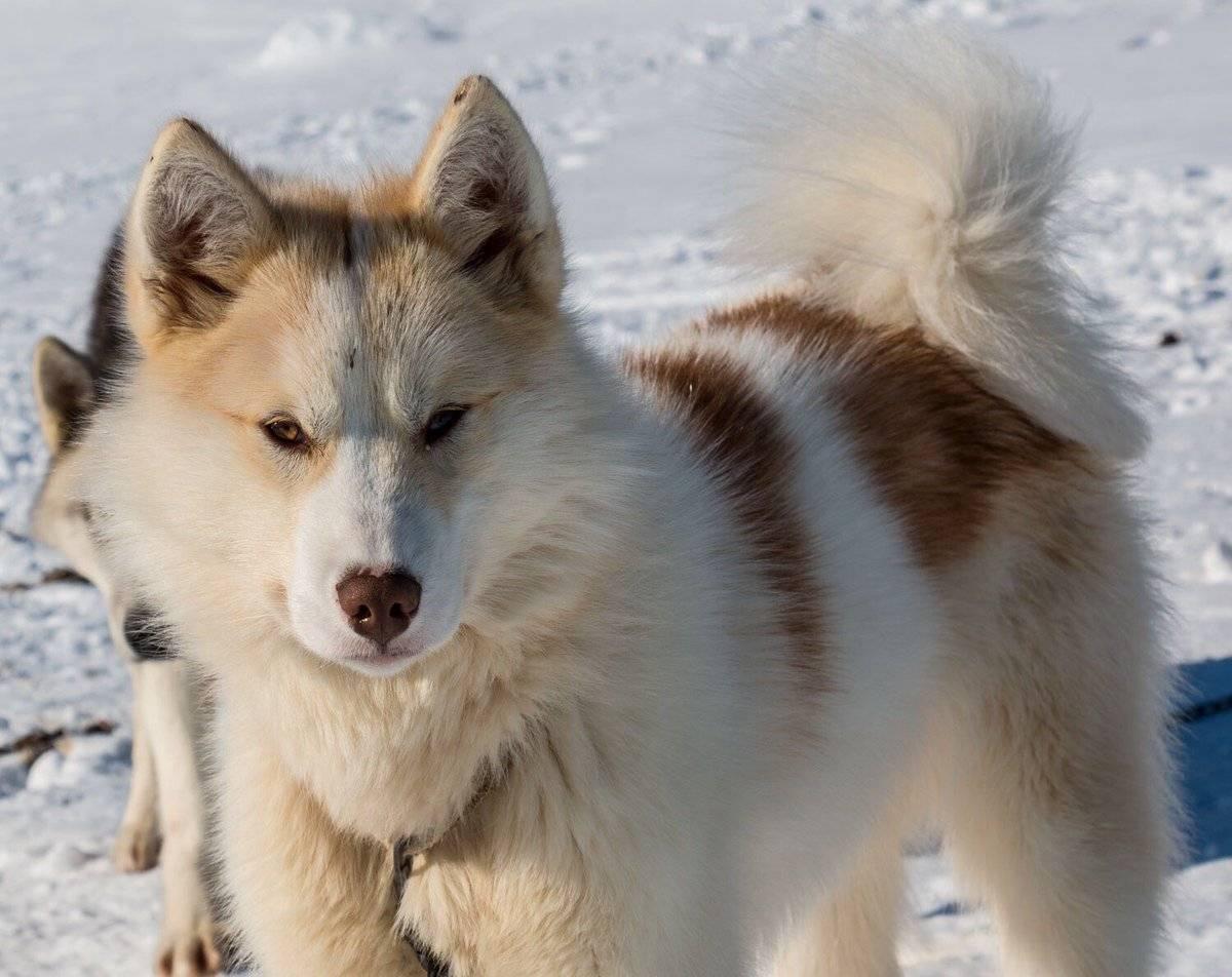 Гренландская собака (Гренландская ездовая собака)