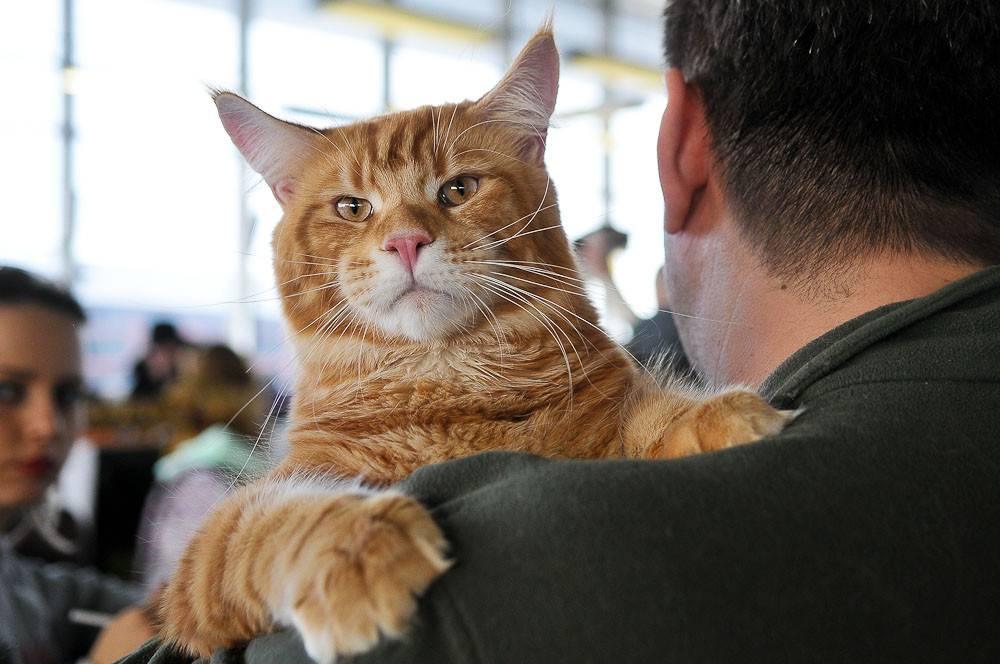 Породы больших кошек:  топ 13 с фото и описанием