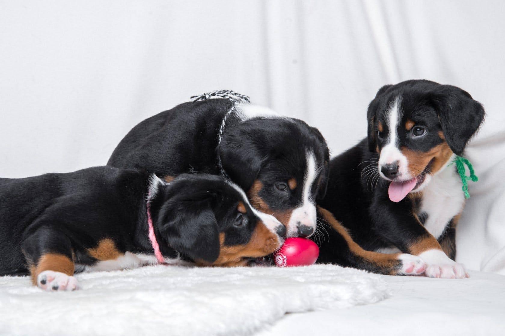 Аппенцеллер зенненхунд: описание породы и характера (с фото) | все о собаках