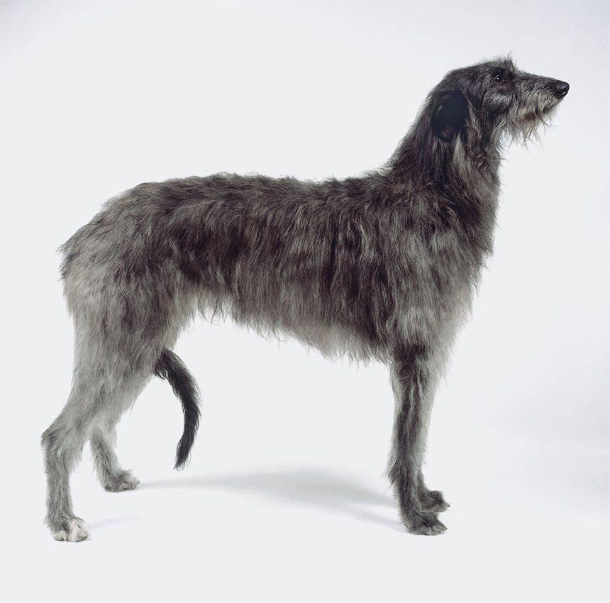 Дирхаунд (шотландская оленья борзая, дирхунд)