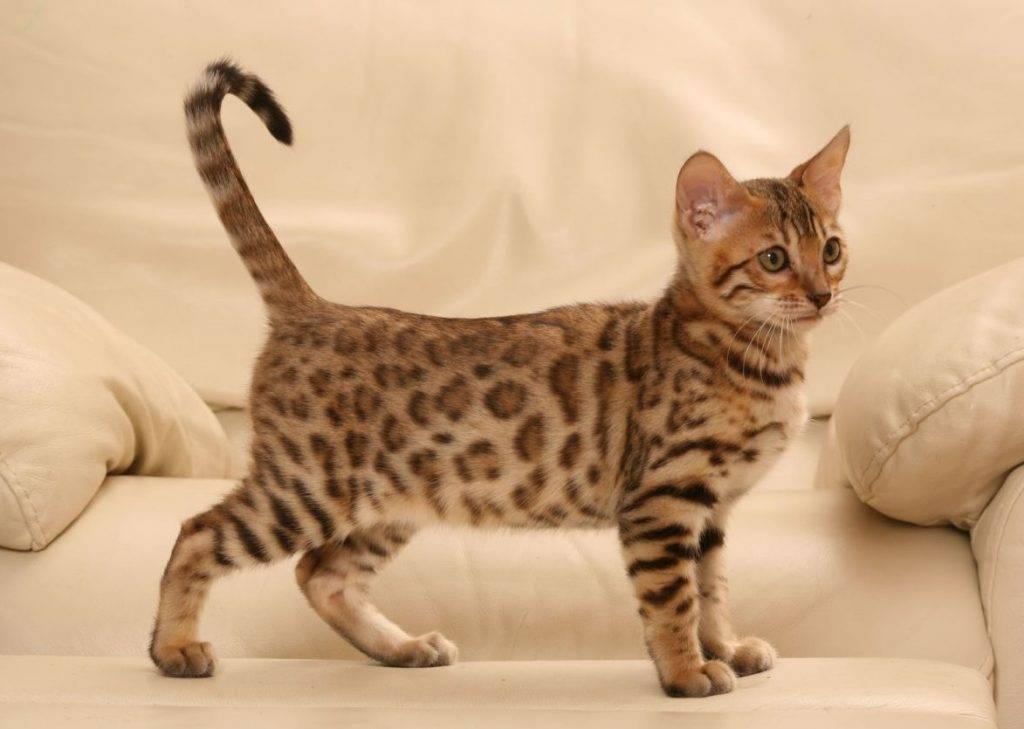 Леопардовая кошка: описание и условия содержания