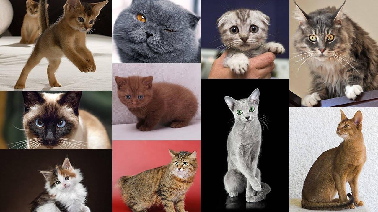 Русские кошки: названия пород (список), их история и описание, фото