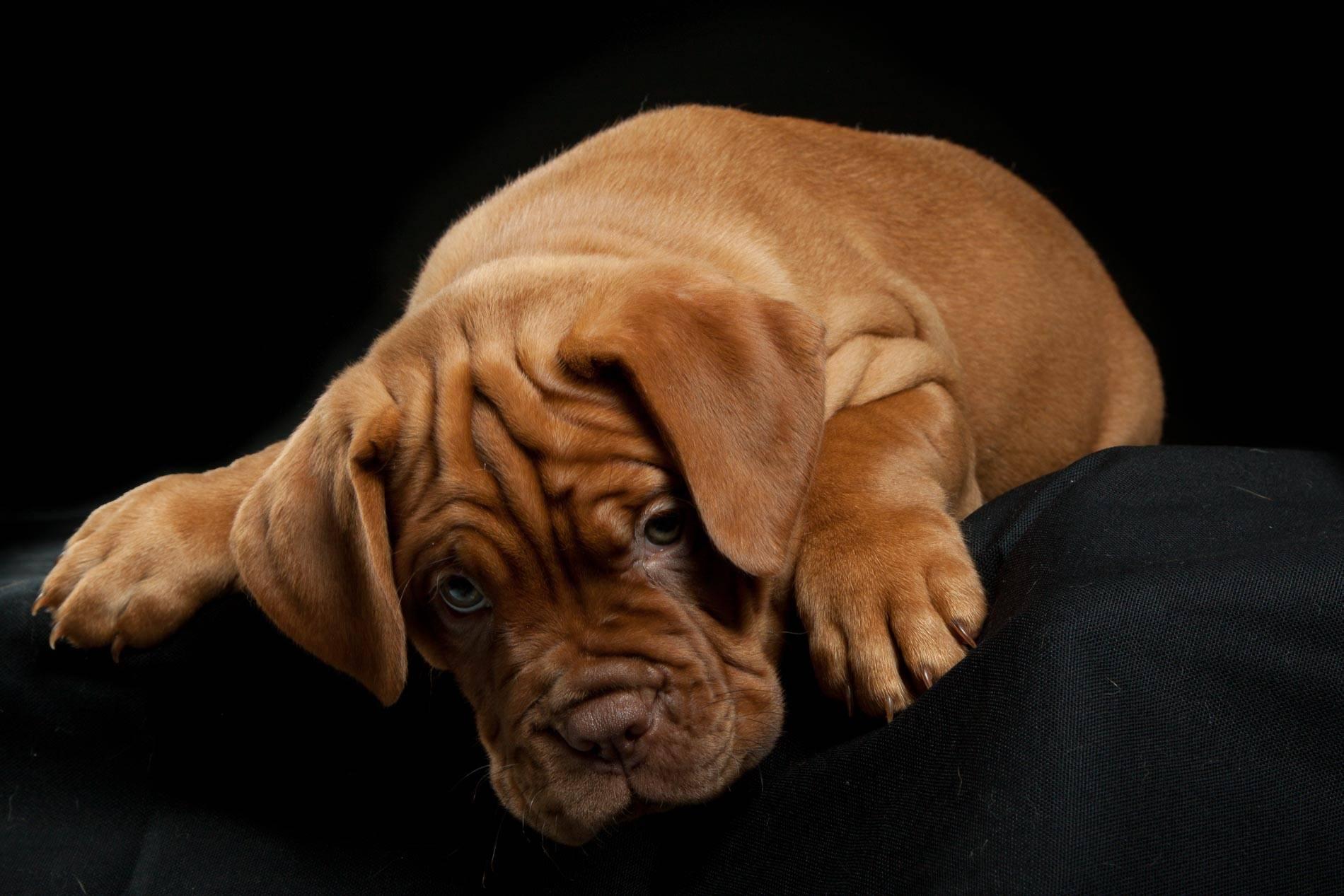 Морщинистая собака порода как называется
