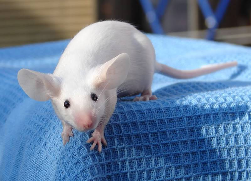 Уход за декоративной крысой от а до я