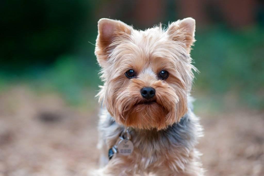 Характеристика породы йоркширский терьер: плюсы и минусы, особенности ухода и отзывы владельцев этих собак