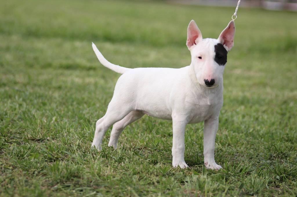 Бультерьер фото, описание породы, характеристика, отзывы, болезни, выбор щенка