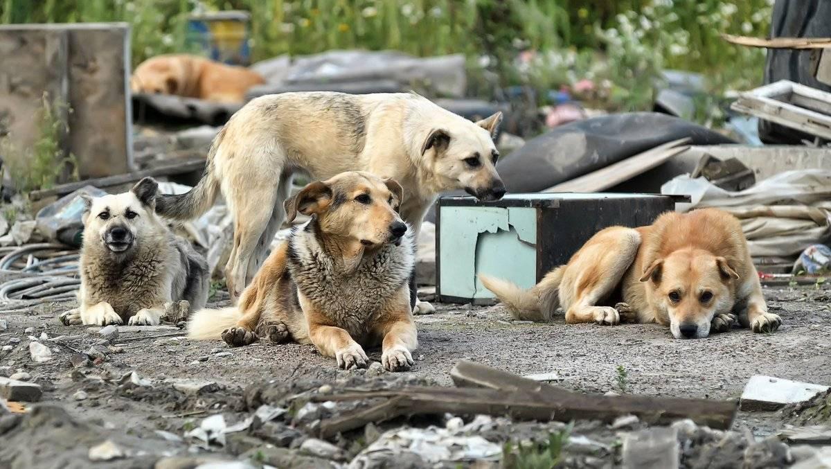 Не рычать, а помогать. челябинский зоозащитник – об отлове бездомных собак | животные | общество | аиф челябинск