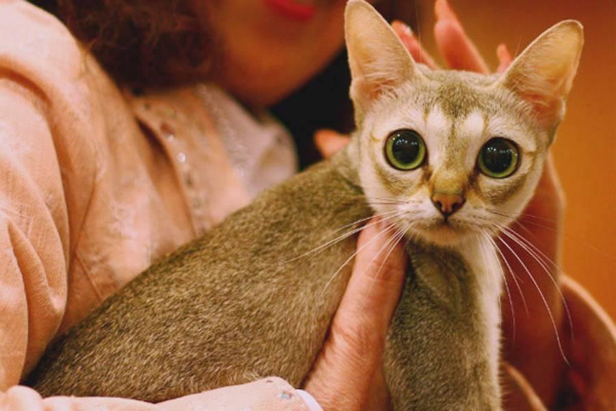 Рейтинг лучших пород карликовых кошек на 2021 год