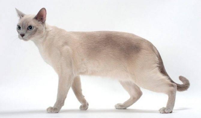 Тайская кошка (фото): верный компаньон с удивительным окрасом и голубыми глазами