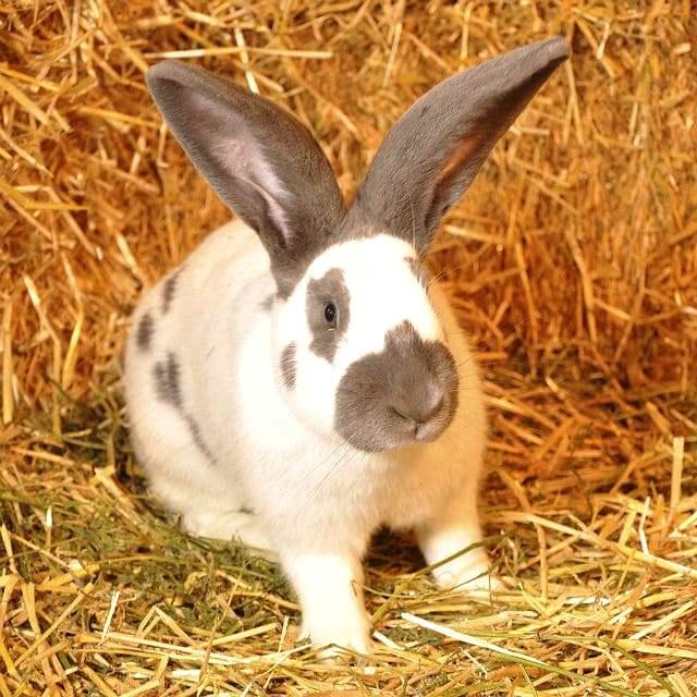 Кролик строкач: описание породы, фото