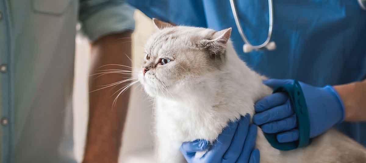 Гепатит кошек