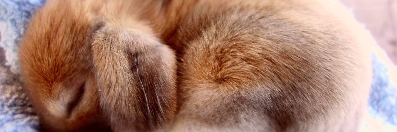 Кастрация декоративных кроликов своими руками, закрытым и открытым способом