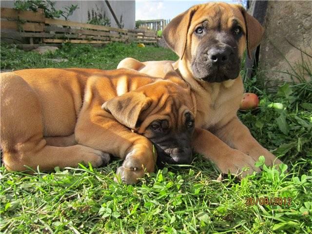 Обзор собак породы южноафриканский бурбуль: описание стандарта, содержание и фото