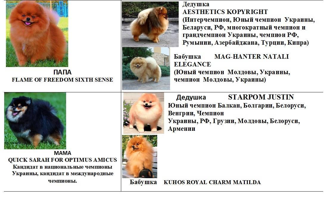 Японский шпиц: все о собаке, фото, видео, описание породы, характер, цена, как купить