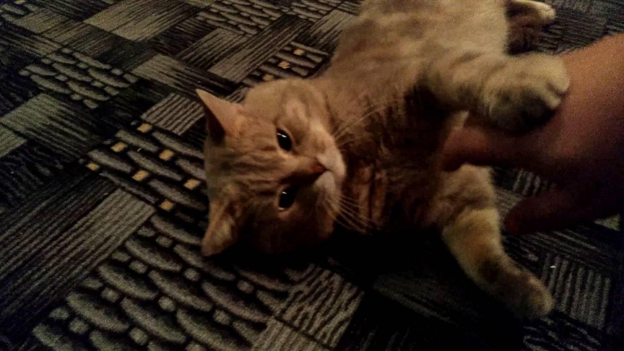 Кот спит на спине, раскинув задние лапы, кошка катается по полу и мяукает