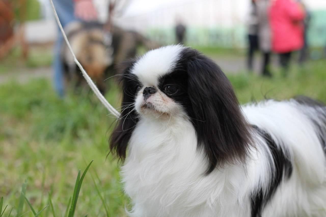 Порода собак японский хин (японский спаниель): история происхождения, описание, характер и поведение