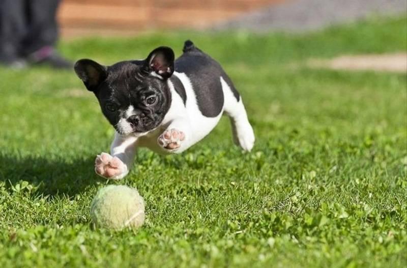 Как и чем кормить щенка французского бульдога: меню по возрастам