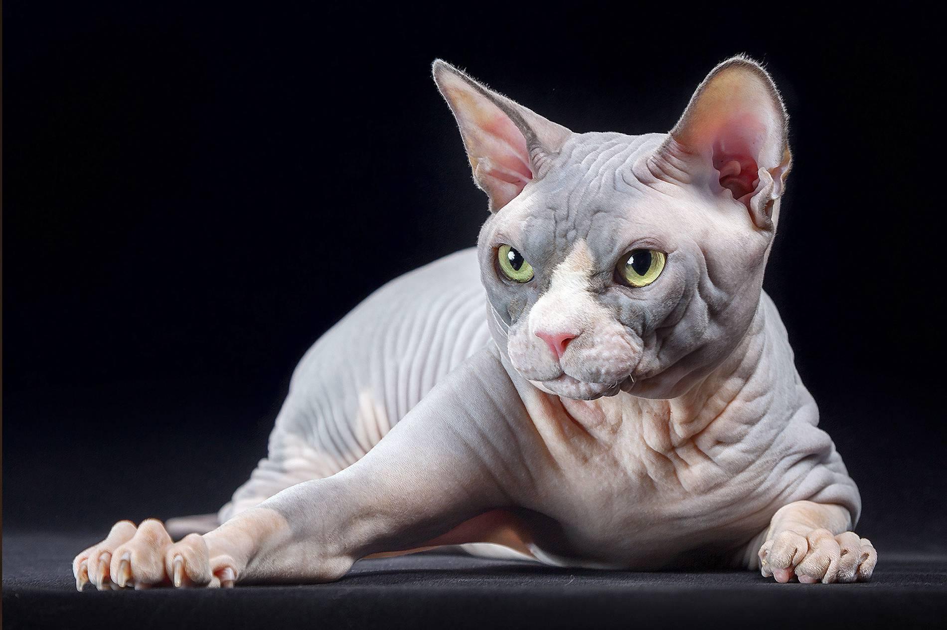 Популярные кошки: топ-14 пород