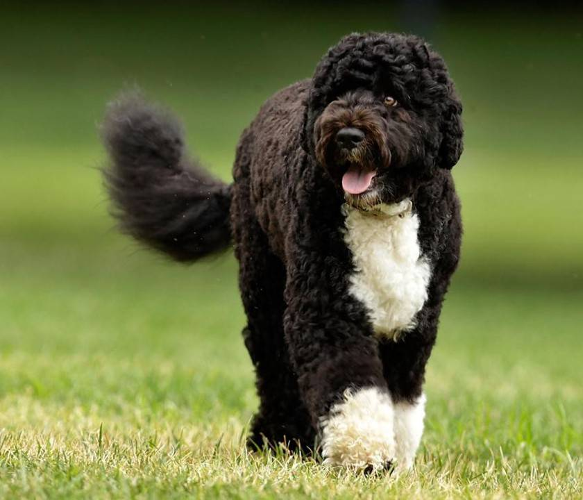 Характеристика собак породы португальская водяная собака с отзывами и фото