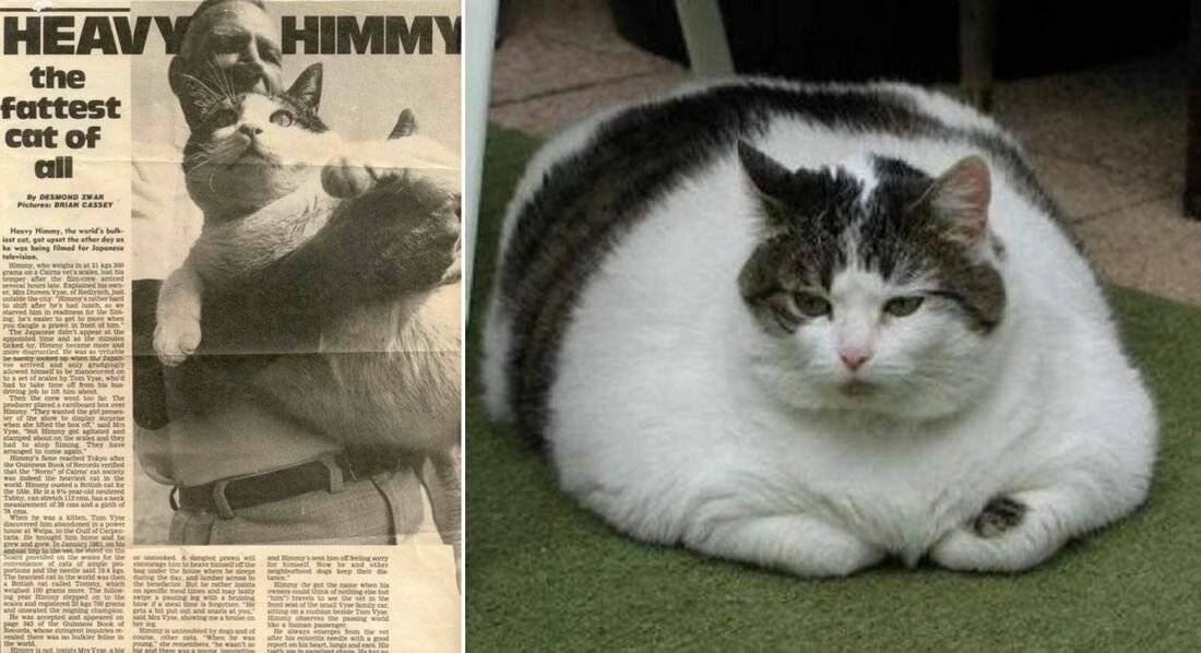 Рейтинг толстых котов и кошек – вес самого толстого кота в мире