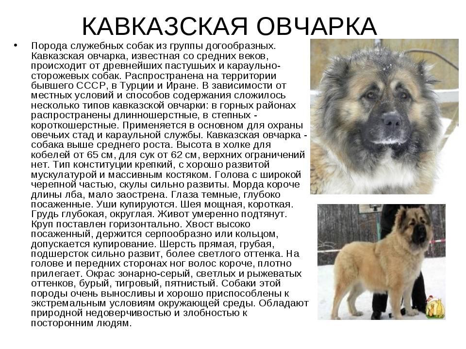 Обзор самых лучших служебных пород собак: описание всех видов таких псов