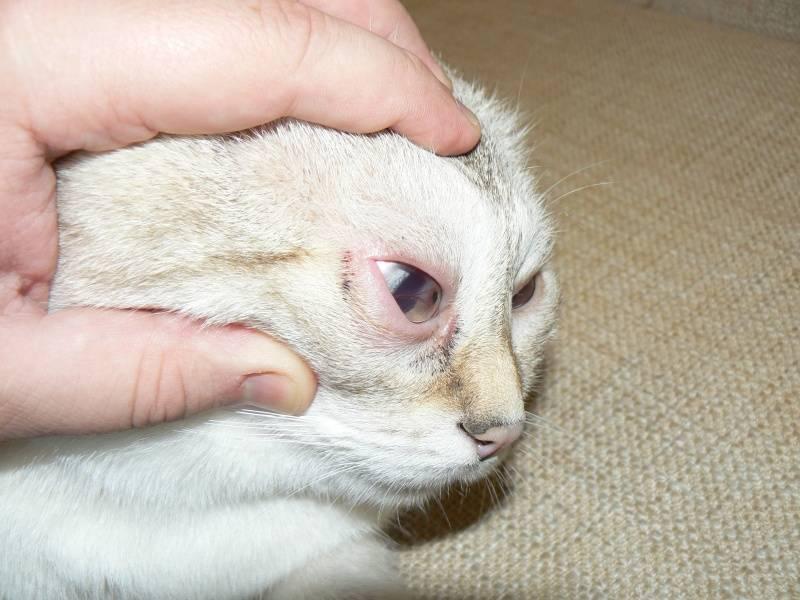 У котёнка гноятся глаза: чем лечить и что делать в домашних условиях  - mimer.ru
