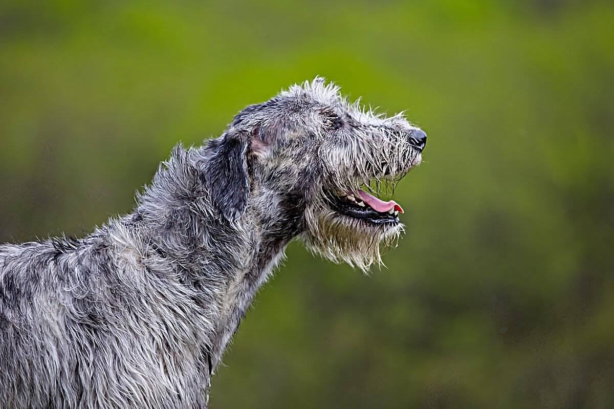 Ирландский волкодав: внешний вид, фото, уход, дрессировка