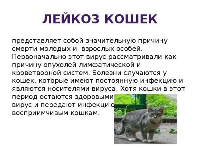 Лейкоз (лейкемия) кошек и котов. симптомы. лечение в беларуси
