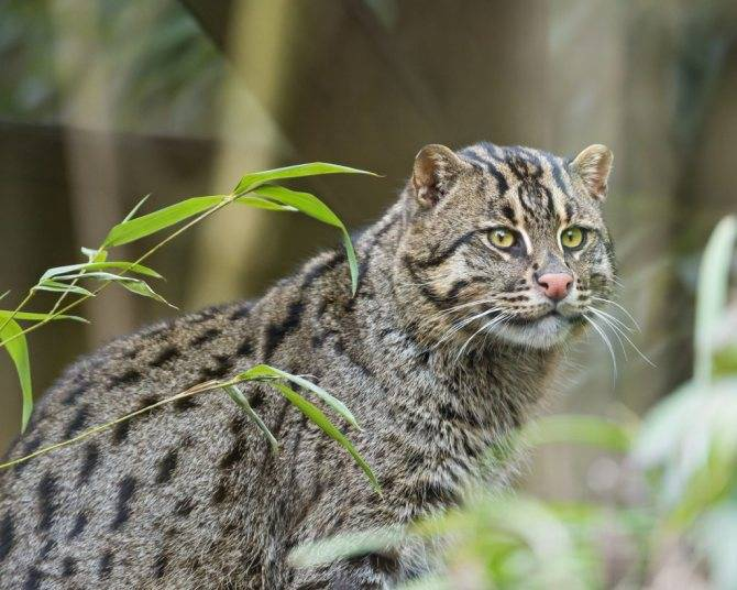 Виверровый кот-рыболов - описание породы