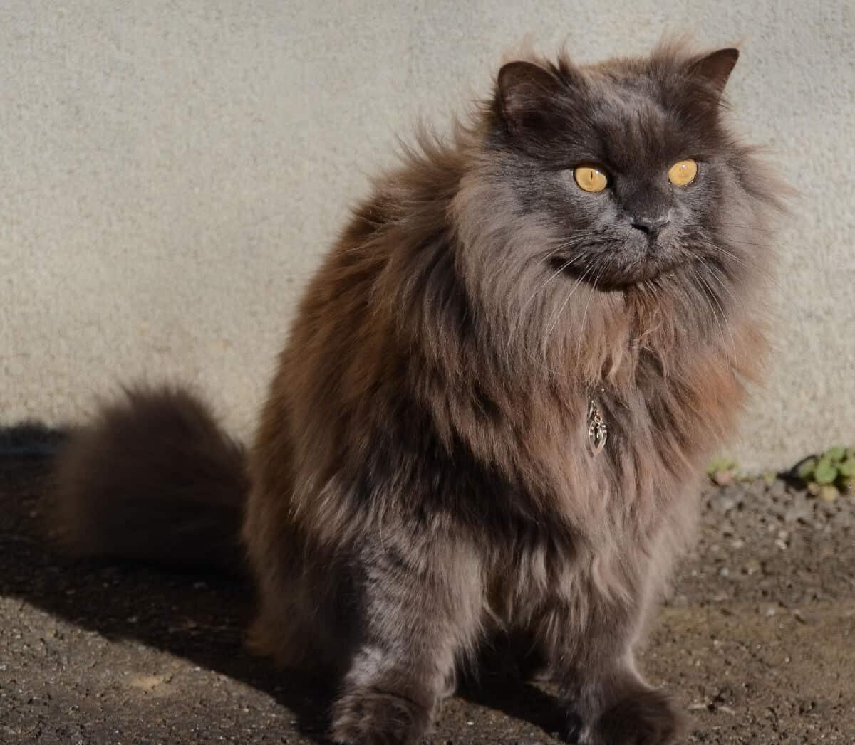 Британец шоколадного окраса: история выведения, стандарты и особенности, фото коричневых британских котов