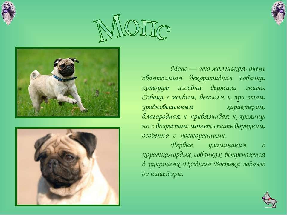 Мопс – фото, описание, характер, уход и воспитание