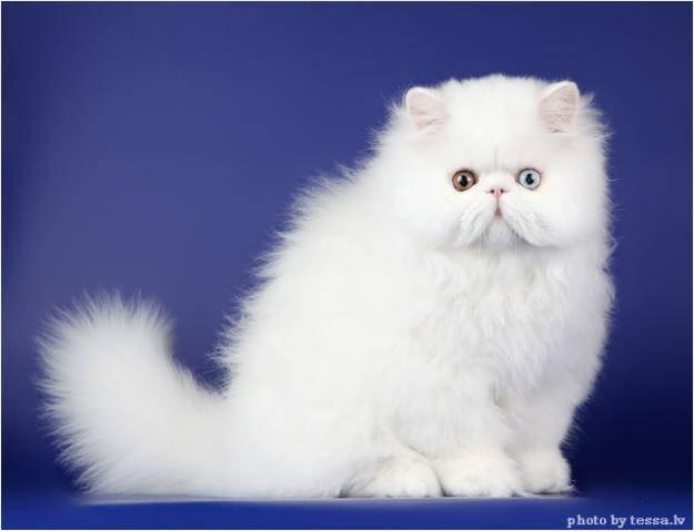 Породы кошек с голубыми глазами: фото с названиями (список)