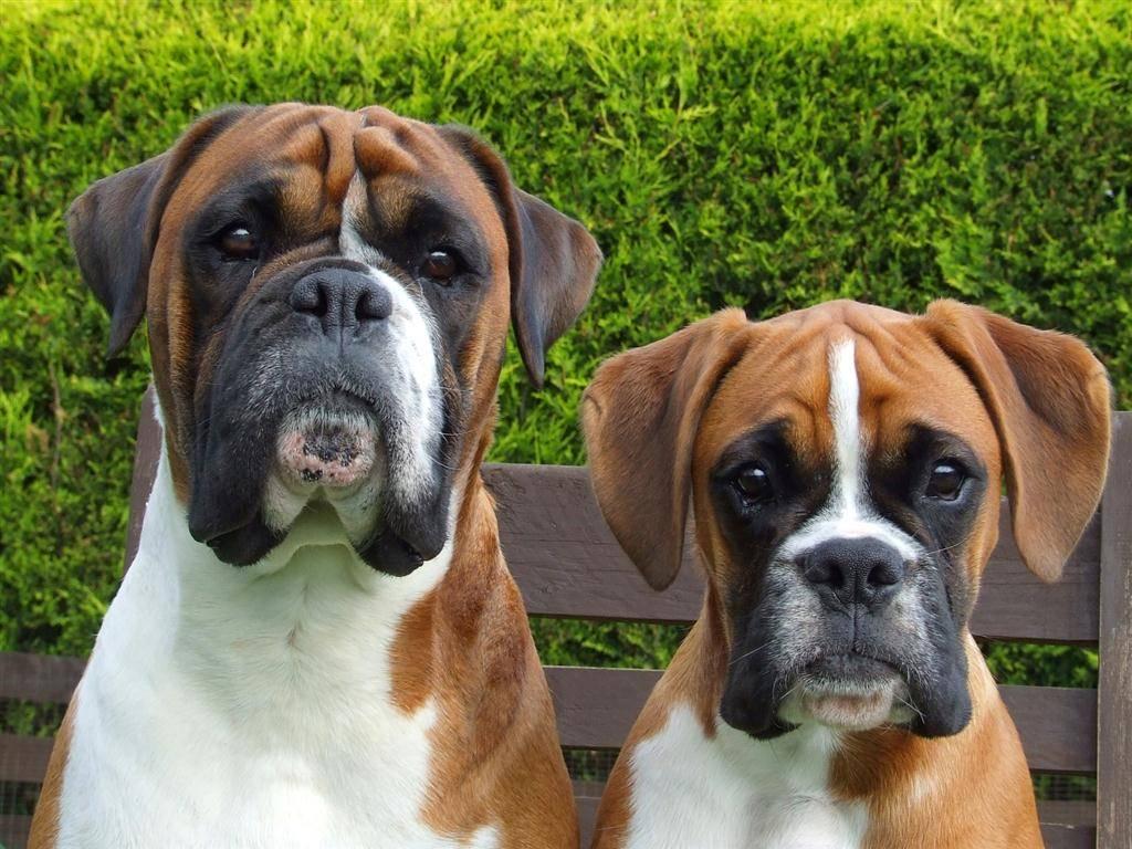Описание породы собак немецкий боксёр