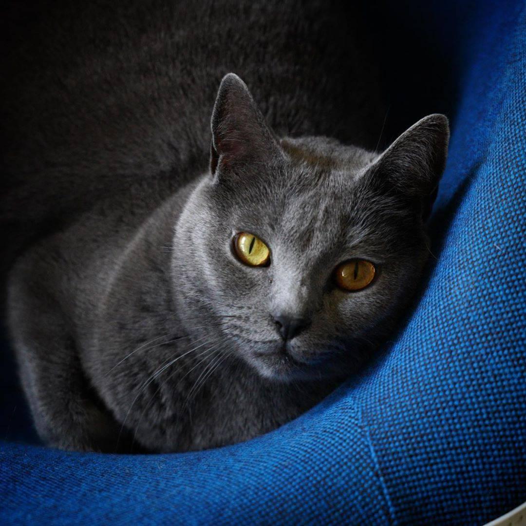 Картезианские кошки: особенности породы, характер и правила ухода
