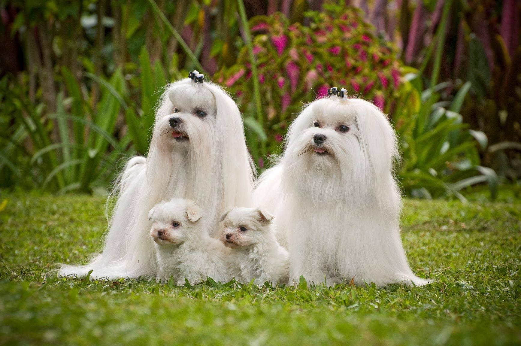 Мальтезе: мини и стандарт, разница между ними, характеристики взрослых особей и щенков мальтийской болонки, сравнение с другими маленькими собаками, фото