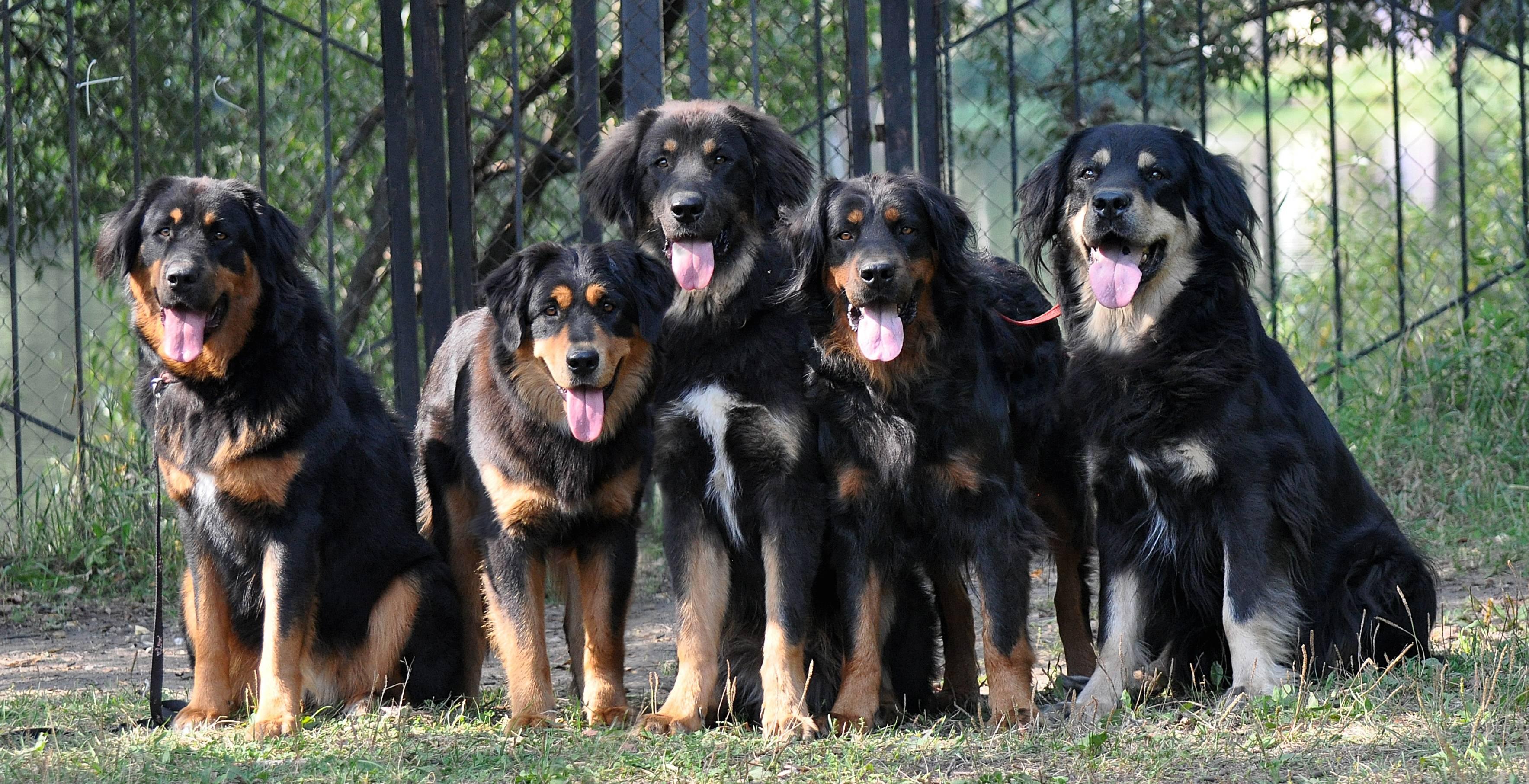 Бурят-монгольские волкодавы (36 фото): кто такие хотошо? описание породы собак, подходящие клички для щенков, отзывы владельцев