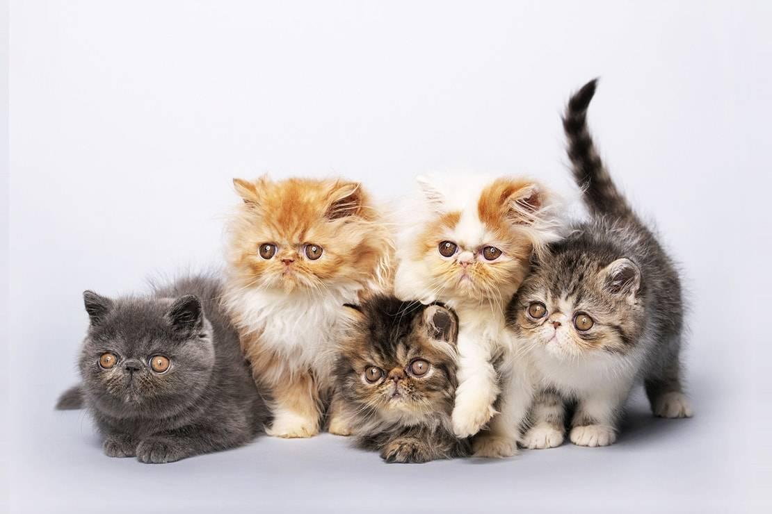 Чем кормить персидскую кошку: 5 лучших кормов + натуральное питание