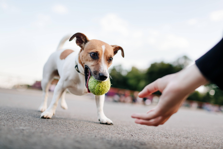 Джек-рассел-терьер и дети: выбираем ребенку собаку