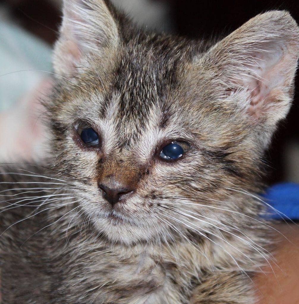 Герпес у кошек - симптомы, лечение и профилактика герпесвируса у кошек
