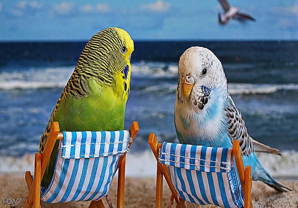 Как научить разговаривать волнистого попугая девочку?
