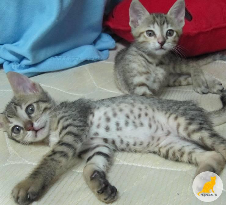 Арабский мау: молодая порода кошек с древними корнями
