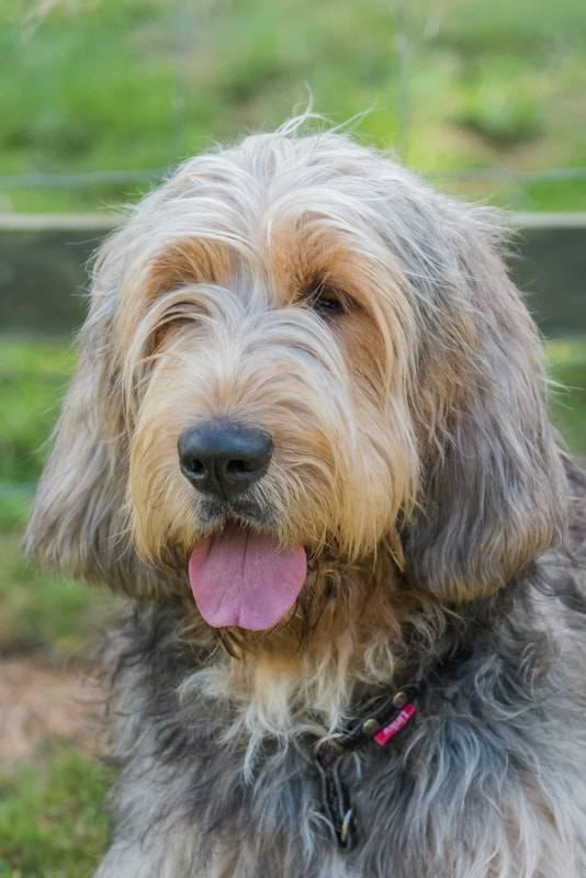 Оттерхаунд: описание породы и характера, уход, фото | все о собаках