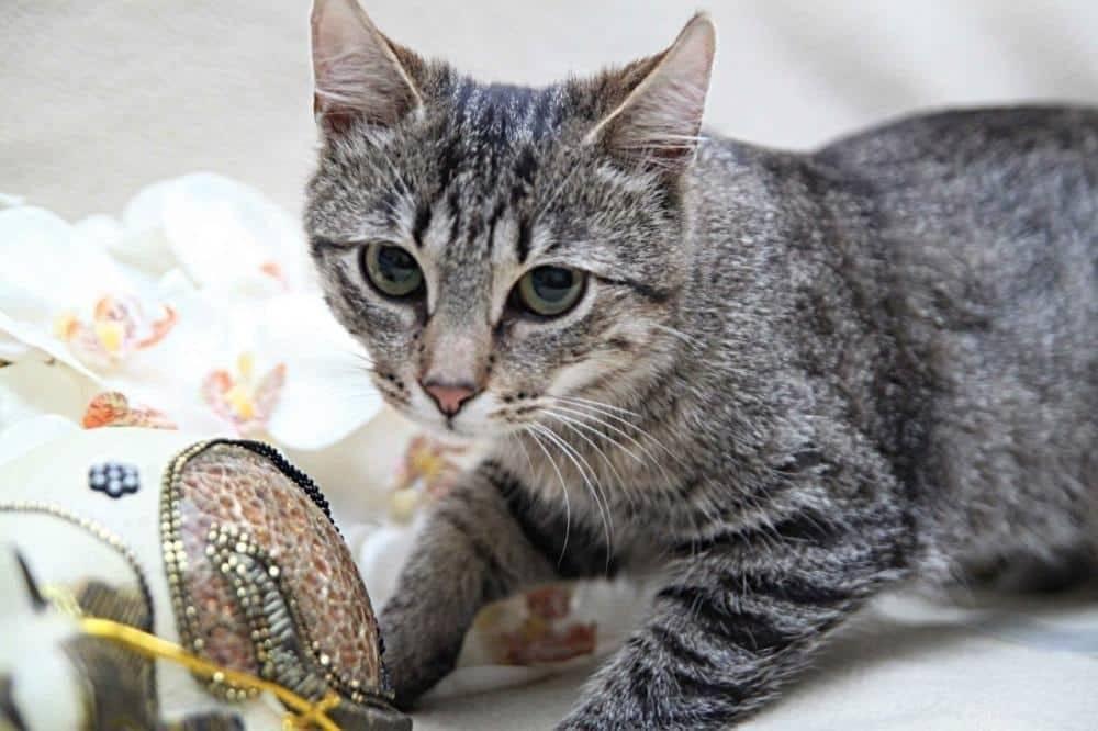 Европейская короткошерстная (кельтская) кошка: подробное описание, фото, купить, видео, цена, содержание дома