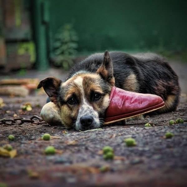 Насколько хорошо собака чувствует хозяина?