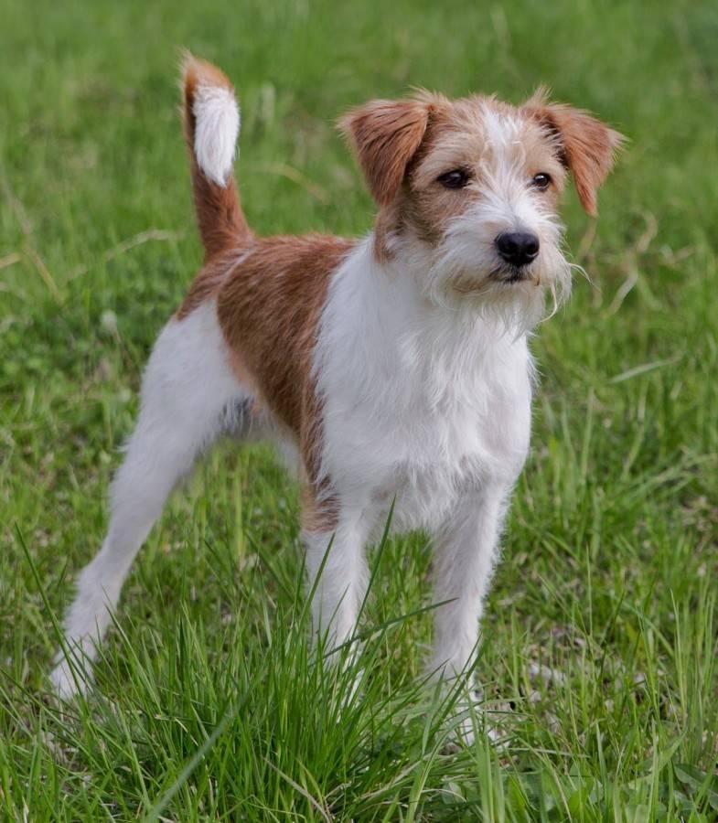 Комондор: все о собаке, фото, описание породы, характер, цена