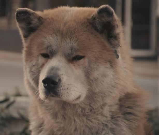 """Порода собаки из фильма """"хатико"""": фото и название, описание характера"""