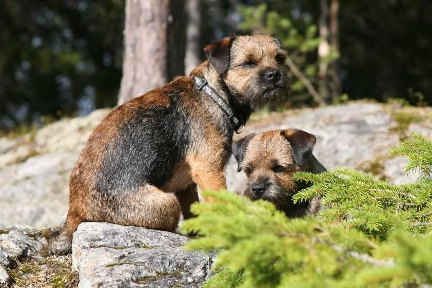 Бордер-терьер: описание породы, фото, характер собак, щенки