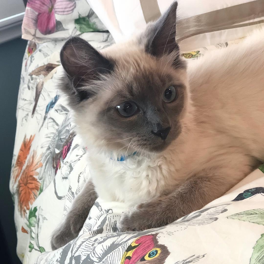 Балинезийская кошка - 125 фото, характеристики, особенности и советы по выбору
