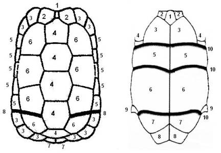 Всегда ли у черепахи был панцирь!?