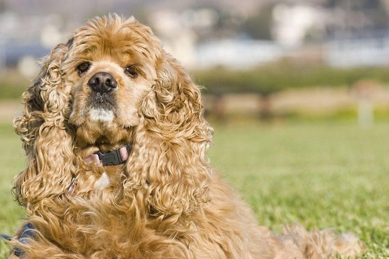 Декоративный кокапу: дизайнерская порода собак с развитым интеллектом